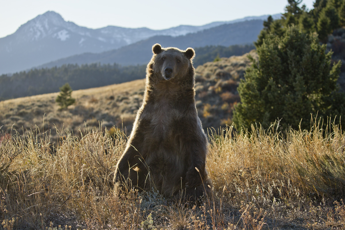 grizzly, N.P. Yellowstone